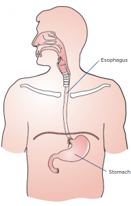 Diagram of the stomach and esophagus